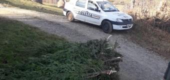 Peste 240 de pomi de Crăciun, confiscați de polițiști
