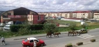 Caii din Floreşti din ce în ce mai liberi. Au ajuns să se plimbe printre maşini.