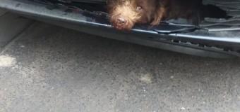 Polițiștii clujeni caută stăpânul unui câine accidentat.