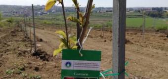 După 24 de ani, plantație de cireși și pruni înființată pe 3,5 hectare, la Stațiunea de Cercetări Horticole din cadrul USAMV Cluj-Napoca